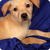 Adopt A Pet :: Harrison Lab Mix - St. Louis, MO