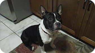 Staffordshire Bull Terrier Dog for adoption in Tampa, Florida - CAPONE (DG)