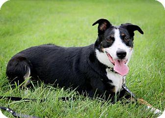 Border Collie Mix Dog for adoption in Omaha, Nebraska - JoJo