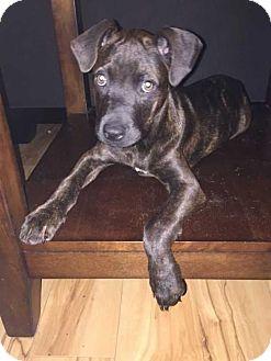 Labrador Retriever Mix Puppy for adoption in Tampa, Florida - Sally P.