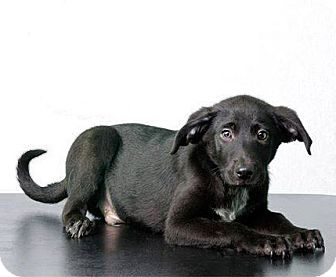 Labrador Retriever Mix Dog for adoption in Savannah, Georgia - Coal