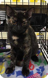 Domestic Shorthair Kitten for adoption in Oviedo, Florida - Charm