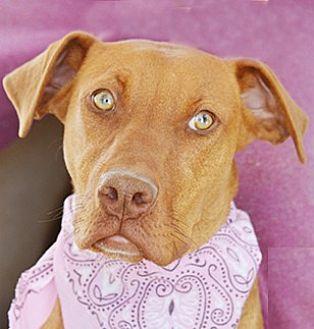 Doberman Pinscher Mix Dog for adoption in Littlerock, California - Darcy