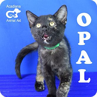 Calico Kitten for adoption in Carencro, Louisiana - Opal