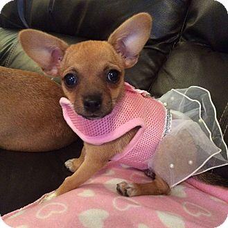 Chihuahua/Dachshund Mix Puppy for adoption in Brea, California - Faith
