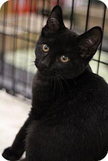 Domestic Shorthair Kitten for adoption in Sacramento, California - Honey Bear
