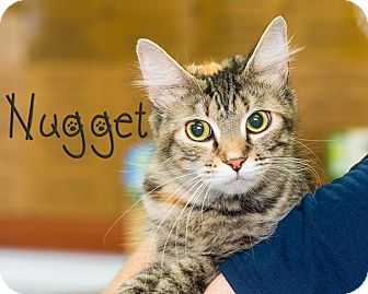 Domestic Longhair Cat for adoption in Somerset, Pennsylvania - Nugget