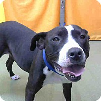 Pit Bull Terrier Mix Dog for adoption in San Bernardino, California - URGENT 11/29 @ DEVORE