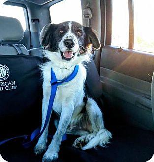 Pointer/Border Collie Mix Dog for adoption in Shakopee, Minnesota - Landry D3395