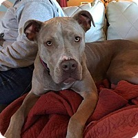 Pit Bull Terrier Mix Dog for adoption in Dayton, Ohio - Luna