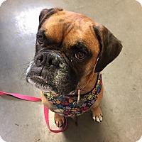 Adopt A Pet :: Leila - Wilmington, DE