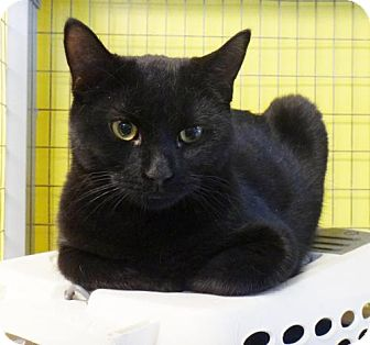 Domestic Shorthair Cat for adoption in St. Johnsbury, Vermont - Mary