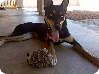 German Shepherd Dog/Husky Mix Dog for adoption in Litchfield Park, Arizona - Krystal-Only $65 adoption fee!