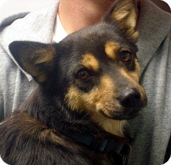 Corgi Mix Dog for adoption in baltimore, Maryland - Julie