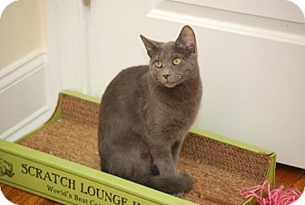 Russian Blue Cat for adoption in Bensalem, Pennsylvania - Secret