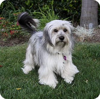 Havanese/Terrier (Unknown Type, Small) Mix Dog for adoption in Newport Beach, California - JAXON