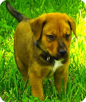 German Shepherd Dog/Labrador Retriever Mix Puppy for adoption in Miami, Florida - Rocky