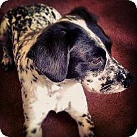 Adopt A Pet :: Bella - Wilmette, IL