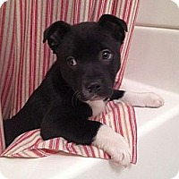 Adopt A Pet :: Glenda - Brattleboro, VT