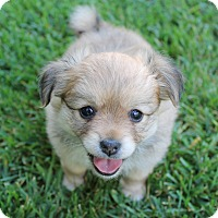 Adopt A Pet :: Mocha - La Habra Heights, CA