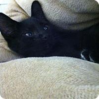 Adopt A Pet :: Sagwa - Trevose, PA