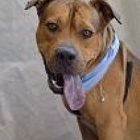 Adopt A Pet :: Buck - Las Vegas, NV