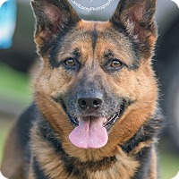 German Shepherd Dog Mix Dog for adoption in Cincinnati, Ohio - Sable