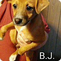 Terrier (Unknown Type, Medium) Mix Puppy for adoption in Albany, New York - BJ