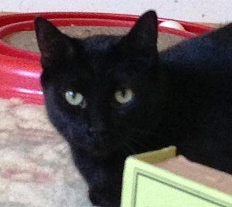 Bombay Cat for adoption in Houston, Texas - Austin