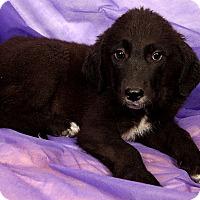 Adopt A Pet :: Neil PyrMix - St. Louis, MO
