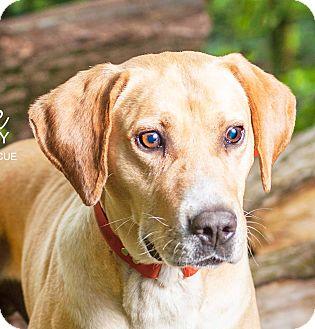 Labrador Retriever/Boxer Mix Dog for adoption in Cincinnati, Ohio - Rocky