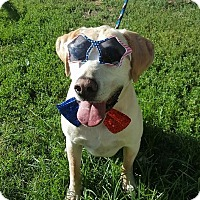 Adopt A Pet :: Big Shug - St. Charles, MO