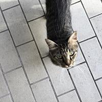 Adopt A Pet :: Kitty - Tampa, FL