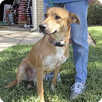 Adopt A Pet :: Cinder - Bedford, TX