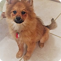 Pomeranian Puppy for adoption in conroe, Texas - Beans