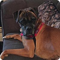 Boxer Dog for adoption in Denver, Colorado - Candy