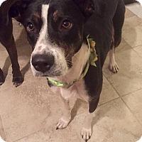 Adopt A Pet :: Allie - North Brunswick, NJ