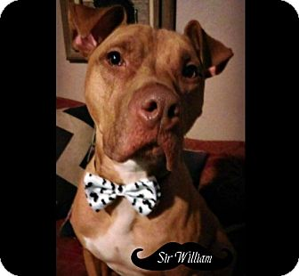 American Pit Bull Terrier Dog for adoption in Des Moines, Iowa - Willie LOOK!