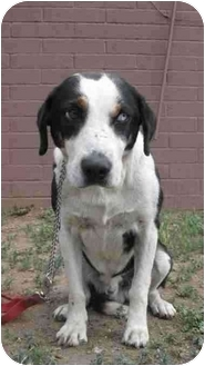Husky/Border Collie Mix Dog for adoption in Phoenix, Arizona - Kelly