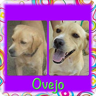 Labrador Retriever Mix Dog for adoption in Toa Alta, Puerto Rico - Ovejo