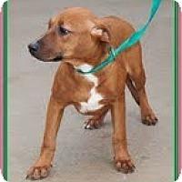 Adopt A Pet :: Caramel (In New England) - Brattleboro, VT