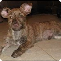 Adopt A Pet :: Scamp - Golden Valley, AZ