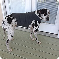 Adopt A Pet :: Moxie - Springfield, IL