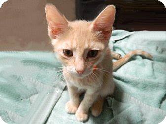 Domestic Shorthair Kitten for adoption in The Colony, Texas - Morel