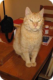 Domestic Shorthair Cat for adoption in St. Paul, Minnesota - Mr. Short