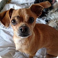 Adopt A Pet :: Hardy - San Diego, CA