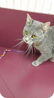 Domestic Shorthair Cat for adoption in Muscatine, Iowa - Tillie