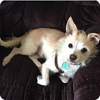 Adopt A Pet :: Kobe - Avon, NY