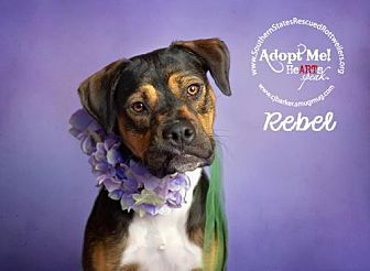Boxer/Rottweiler Mix Dog for adoption in White Hall, Arkansas - Rebel