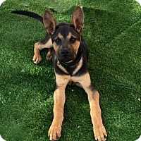 German Shepherd Dog Mix Puppy for adoption in Phoenix, Arizona - LAMBEAU